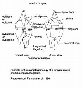 Dinoflagellates: Dinoflagellates