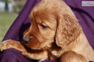 Cute Irish Setter Puppies