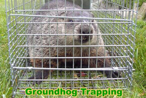 woodchuck groundhog trapping tips bait