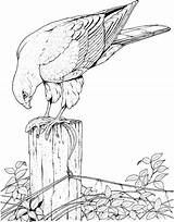 Coloring Pages Bird Birds Puffin Prey Tropical Printable Getcolorings Colouring Flying Well Getdrawings Colorings Angry sketch template