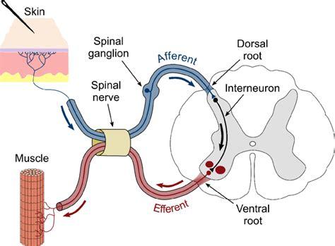 Diagram A Reflex Arc by Schematic Representation Of A Spinal Reflex Arc A Pin In
