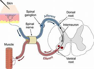 Schematic Representation Of A Spinal Reflex Arc  A Pin In