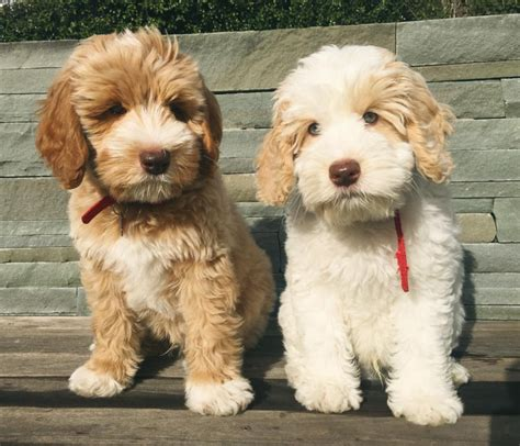 breed shedding 10 hypoallergenic breeds you can without sneezing