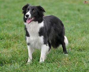 Similarities and differences between the Border Collie and ...