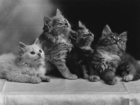 fond d écran chaton mignon image fond d cran chaton mignon fonds d cran gratuits de chats et de chatons animaux fonds d