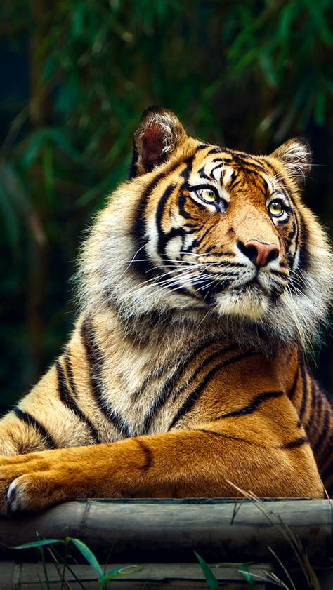 siberian tiger iphone  wallpaper hd