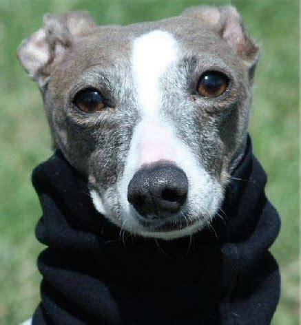 italian greyhound non shedding 100 do italian greyhounds shed italian greyhound