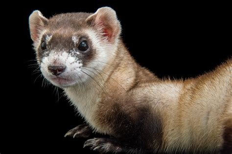 saving endangered ferrets  peanut butter
