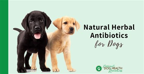 canine antibiotics natural herbal antibiotics  dogs