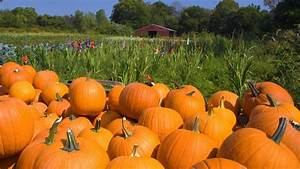 Harvest pumpkin wallpapers and images - wallpapers ...