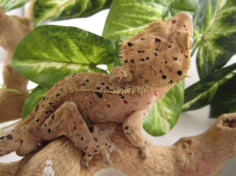 17 best ideas about gecko vivarium on pinterest vivarium
