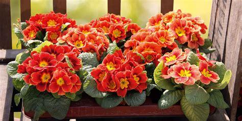 terrazzo in fiore primule sul balcone cose di casa