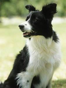 Healthy Dog Chart Growth Weight Of Border Collies Pets
