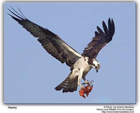 Images Of Osprey Ospreys Pandion Haliaetus Of Birds
