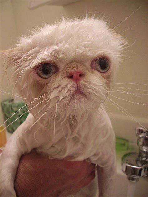 fotos de gatos graciosos animalesmascotas
