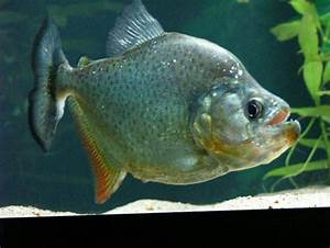 Serrasalmus marginatus | Ikan akuarium