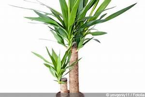 Palme Umtopfen Wurzeln Abschneiden : yucca palme pflege der palmlilie tipps zum berwintern ~ Frokenaadalensverden.com Haus und Dekorationen