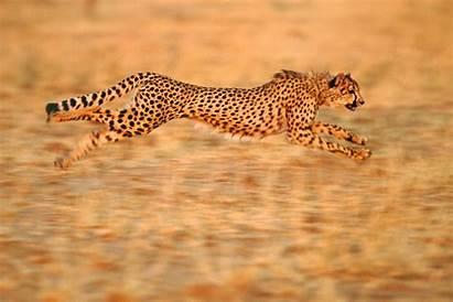 Cheetah Running Animal Animals Speed Cheetahs Acinonyx