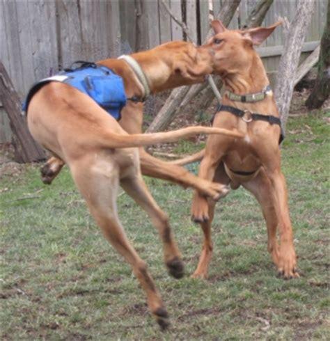 dancing with the stars rhodesian ridgeback style dog