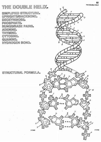 Dna Coloring Worksheet Replication Answers Helix Double