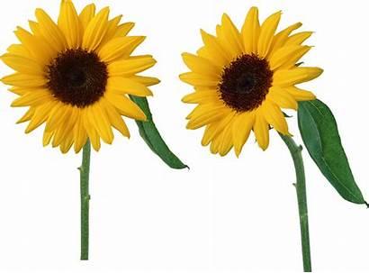 Sunflower Sunflowers Transparent Flower Sun Yellow Clipart