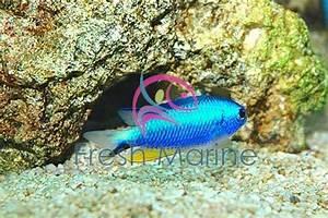 FreshMarine Neon Damsel Pomacentrus alleni Buy