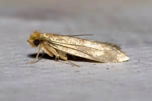 Carpet Moths Larvae by 187 Pest Indentifier
