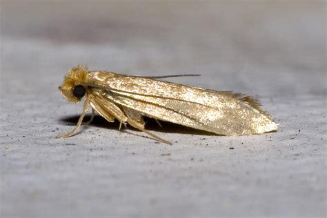 File:Tineola.bisselliella.7218.jpg - Wikimedia Commons
