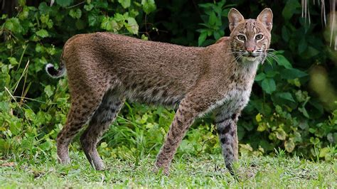 Wild Bobcat hanging out in my front yard in West Palm ...