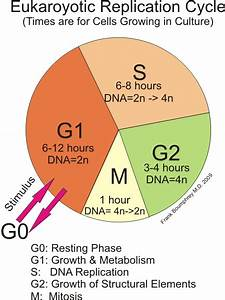 How Long Are The Phases Of Mitosis