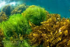 Various Species Of Marine Algae Photo, Stock Photo of ...