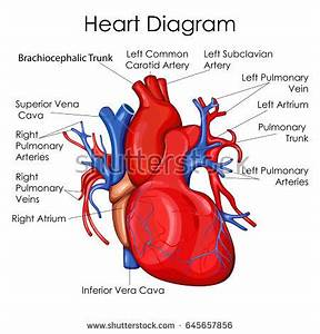 Medical Education Chart Biology Heart Diagram Stock Vector ...