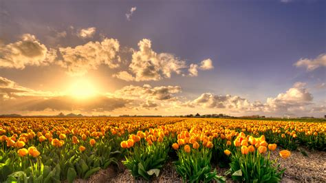 yellow tulip flowers field  sunset holland rich pure