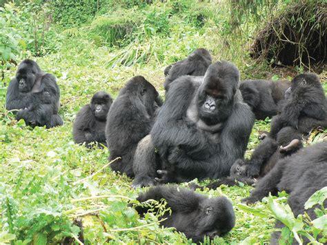 episode  male hierarchy   gorilla groups success