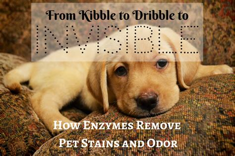 How Enzymes Remove Pet Stains And Odor Carpet Cleaning Caledonia Ontario Is Or Laminate Cheaper To Install Cleaners Cordova Tn How Clean A Stain Guard Costs Calculator Uk Get Milk Throw Up Smell Out Of Famous Carpets In India Crystal Hamilton