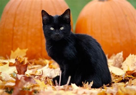 Wallpaper Cat And Pumpkin by Kitten And Pumpkins Cats Animals Background Wallpapers