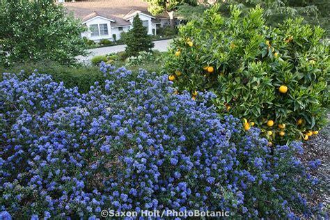 Blue Flowering Native Plant Shrub California Lilac