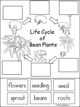 life cycle of a bean plant free printable part of a