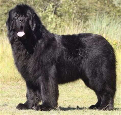 do newfoundlands shed hair newfoundlands what s about em what s bad about em