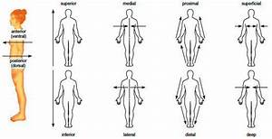 2  Anatomical Positions  Planes  U0026 Directions