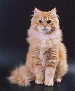 211 best images about Russian Siberian Cats on Pinterest