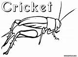 Cricket Coloring Pages Insect Drawing Crickets Colorings Animal Getdrawings sketch template