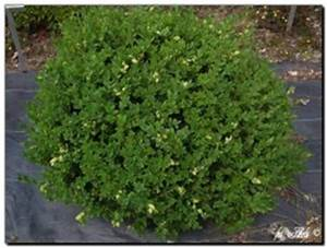 Buxbaum Schneiden Wann : kleinbl ttriger buchsbaum green pillow ~ Lizthompson.info Haus und Dekorationen