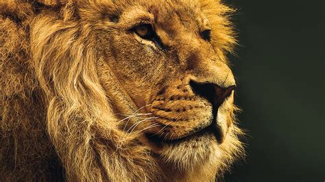 national geographic nature animal lion yellow wallpaper