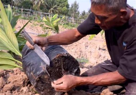 ขั้นตอนการปลูกมะพร้าวลงหลุม