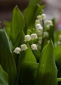 Quand Planter Du Muguet : muguet entretien beautiful qui ne connat cette plante saisonnire au parfum si merveilleux on la ~ Melissatoandfro.com Idées de Décoration