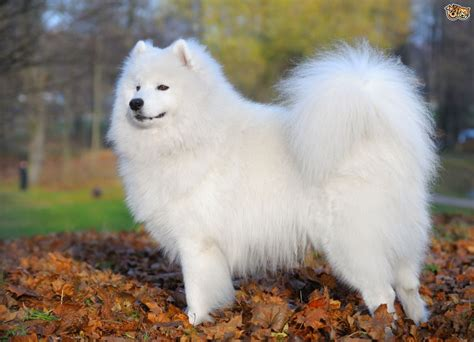 samoyed breed information buying advice photos and facts pets4homes