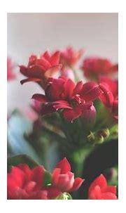 Beautiful Red Flowers Wallpapers | HD Wallpapers | ID #12397