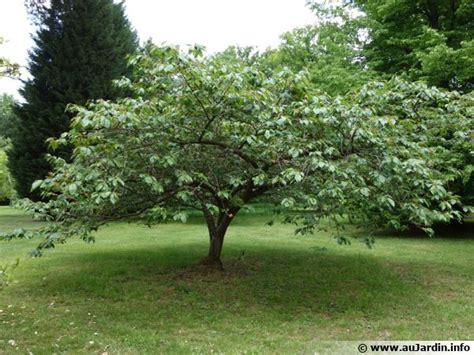 cerisier du japon prunus serrulata conseils de culture