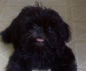 american bulldog puppies: Bear Shih Bichon Hybrid Puppy ...